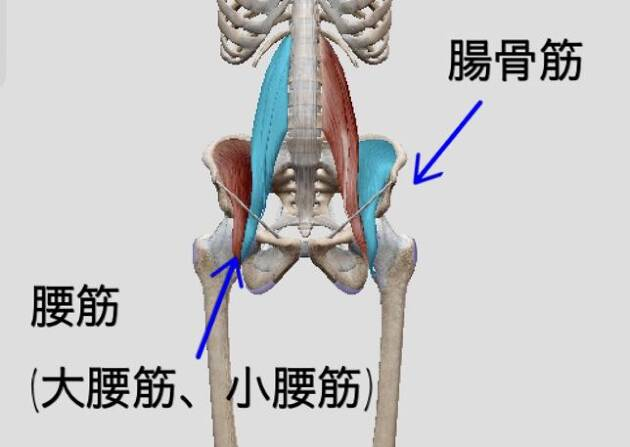 「腸骨筋」と「腰筋」の働き