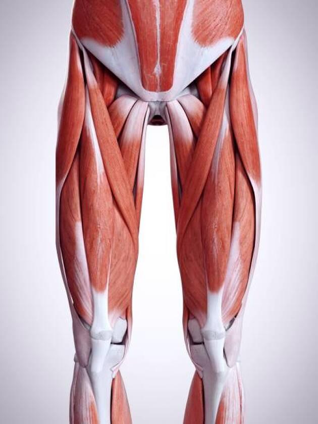 「股関節」の動きを支える筋肉