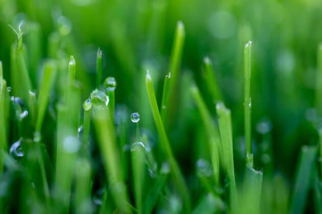 グリーンに使われている芝にはどんな種類があるの?